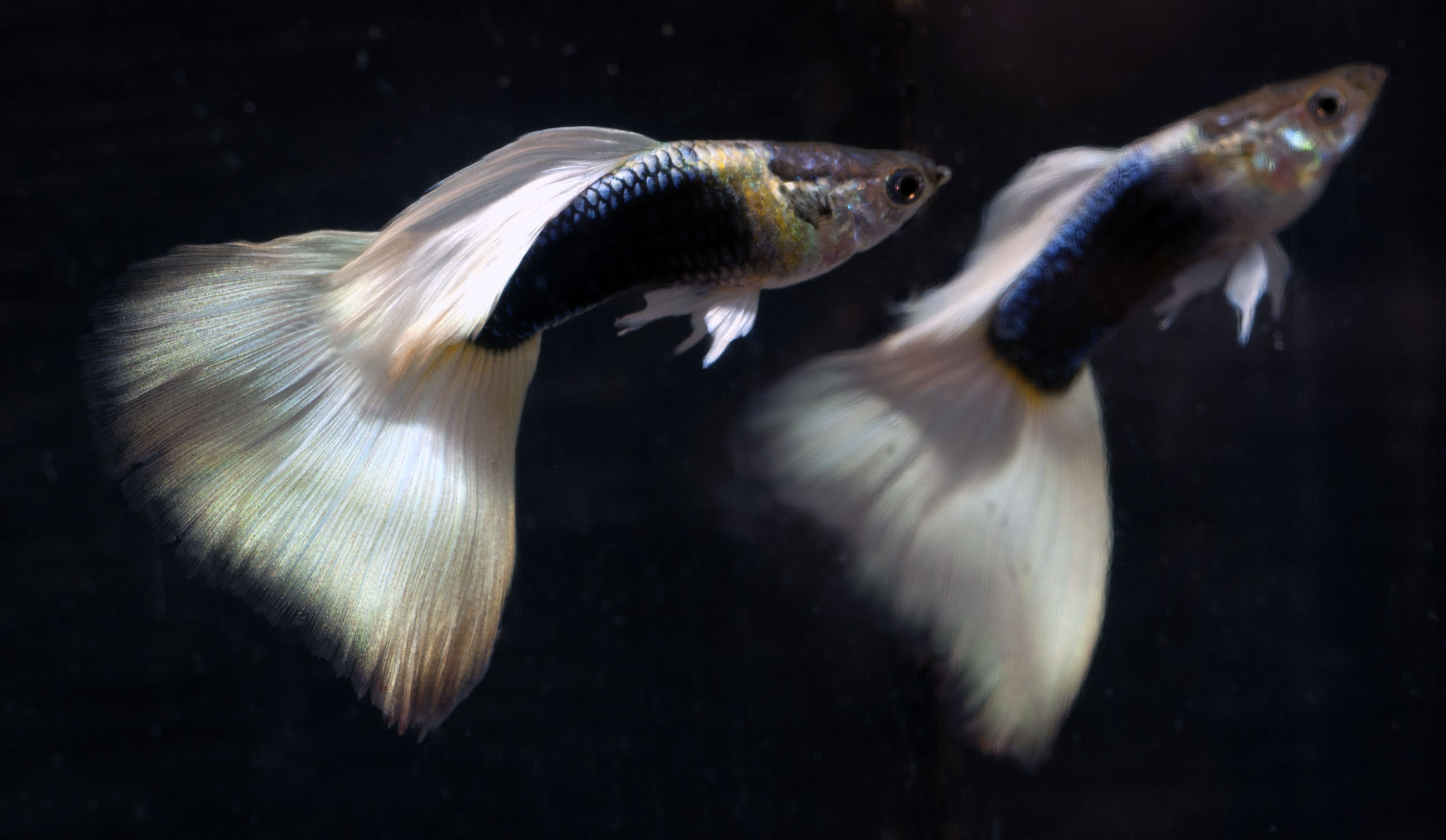 Show Guppies_2529a
